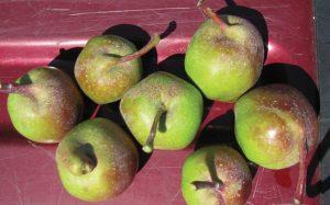 """Misshapen """"parrot-beaked"""" fruit of Sunrise Magic®"""