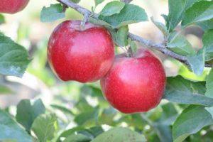 Sunrise Magic® fruit on tree