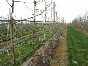 Young Cosmic Crisp® trees in a high density orchard