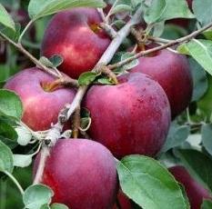 Cosmic Crisp® apples on the tree