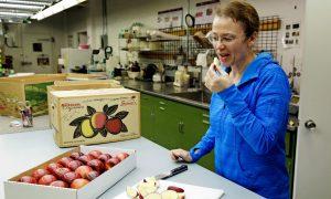 Breeder Kate Evans taste testing apples