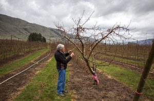 Former breeder Bruce Barritt with original Cosmic Crisp® mother tree