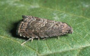 Adult oriental fruit moth on leaf.