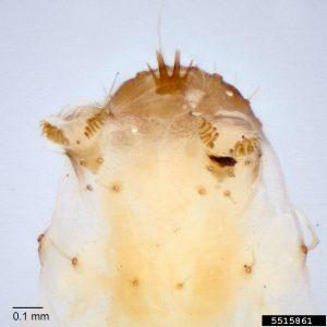 Closeup of peach twig borer larva showing four annal combs.