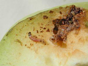 mid-instar codling moth larva