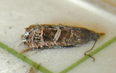 sage moth adult