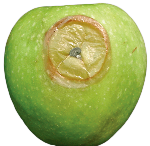 Postharvest Diseases Tree Fruit Postharvest Export